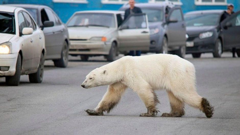 Encuentran un oso polar hambriento merodeando en la ciudad