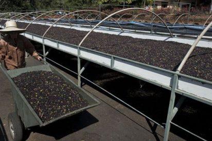 """La finca de Panamá que produce el """"café más caro del mundo"""": 75 dólares la taza"""