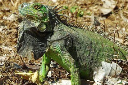 Cacería abierta de iguanas en la Florida: Los vecinos tienen permiso para matar sin consecuencias