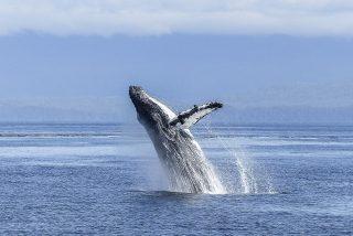 El dramático instante en que el león marino cae en las fauces de la ballena jorobada