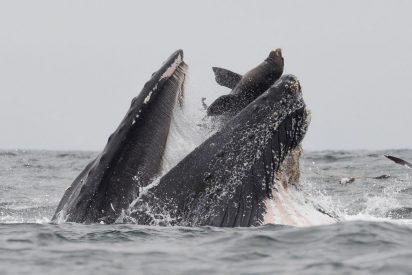 El dramático instante en que un león marino cae en las fauces de una ballena jorobada