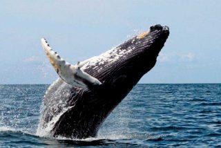 Capturan el instante cuando un león marino cae en las fauces de una ballena jorobada