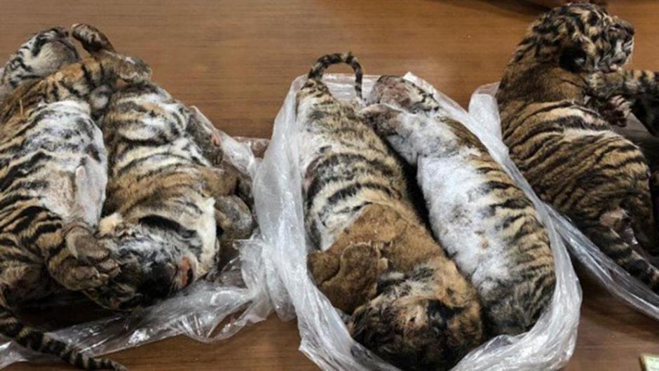 Fotos: Encuentran siete crías de tigre congelados en el interior de un auto