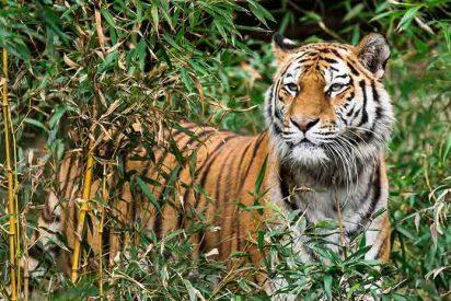 Vídeo: El salvaje ataque de un tigre a unos motociclistas que cruzaron una reserva natural