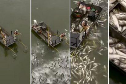 """Vídeo: Electrocutan a cientos de carpas asiáticas por ser una """"especie invasora"""""""