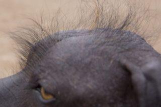 Cómo un perro sin pelo terminó por convertirse en el patrimonio cultural de Perú