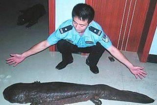 El 'manjar chino': El anfibio más grande del mundo que está en riesgo de desaparecer por su sabroso sabor