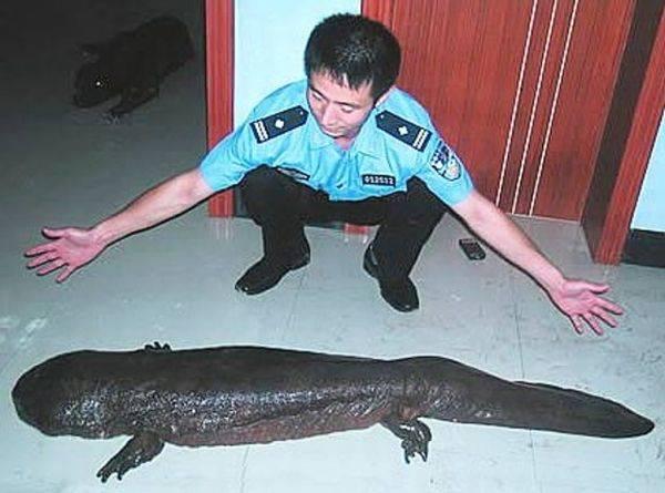 El 'manjar chino': El anfibio más grande del mundo está en riesgo de desaparecer por su sabroso sabor