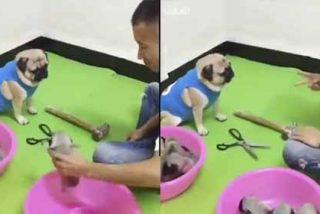 Vídeo viral: Esta perra juega 'piedra, papel o tijera' y no pierde ni una para 'recuperar' a sus cachorros