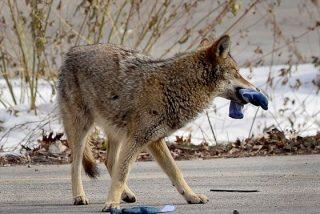 La niña esquiva de milagro el brutal ataque de un coyote