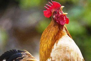 Secretos Animales: ¿Sabes por qué canta el gallo?