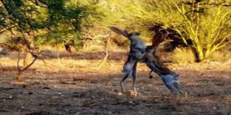 Machismo salvaje: Estas dos liebres machos se golpean sin compasión... ¡el que gane se queda a la hembra!
