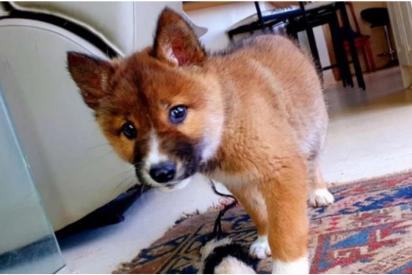 Encuentra un cachorro herido y lo adopta, pero no era un perro sino una especie vulnerable
