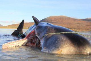 Fotos: Encuentran un cachalote muerto con 100 kilos de basura en el estómago