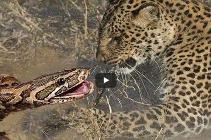 Lucha a muerte entre el leopardo y la serpiente pitón... ante el pavor de los turistas