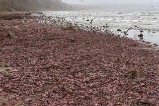"""Miles de """"peces pene"""" invadieron una playa de Estados Unidos: """"Se trata de un encallamiento masivo"""""""