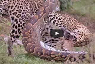Un leopardo y una pitón se juegan la vida delante de los visitantes impávidos de un parque en Sudáfrica