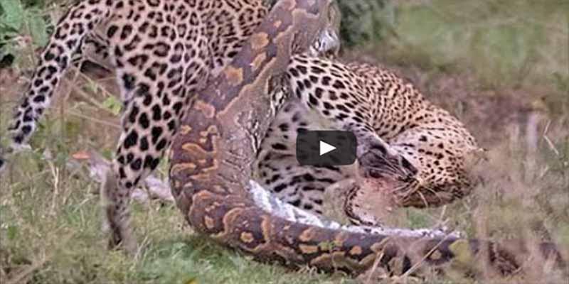 La pelea épica entre un leopardo y una pitón presenciadas por los visitantes impávidos de un parque en Sudáfrica