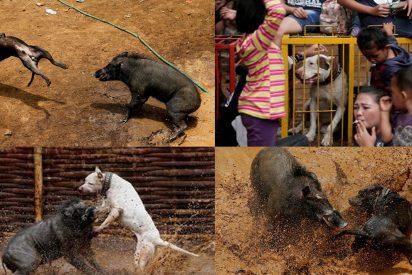 Así son las sangrientas y brutales peleas de perros y jabalíes en Indonesia